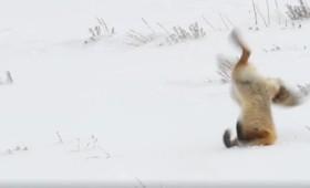 Η άσχημη μέρα μιας αλεπούς (βίντεο)