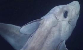 Ο καρχαρίας-φάντασμα σε βίντεο για πρώτη φορά
