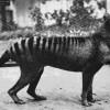 Η εμφάνιση της Τίγρης της Τασμανίας σε 2 νέα βίντεο