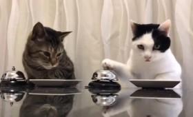 Ντριν! Ντριν! Όταν οι γάτες παραγγέλνουν φαγητό (vid)