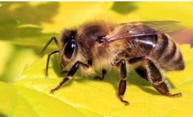 Greenpeace: Οι μέλισσες σε χρειάζονται!