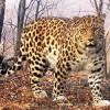 Οι σπάνιες λεοπαρδάλεις του χιονιού στη Σιβηρία (vid)