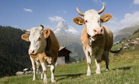 Οι Ελβετοί ψηφίζουν για τα δικαιώματα των αγελάδων!