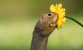 Η όμορφη στιγμή που ένα σκιουράκι μυρίζει ένα λουλούδι