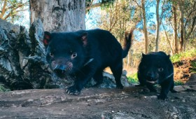 Ο Δαίμων της Τασμανίας επιστρέφει στην Αυστραλία