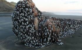 Μυστηριώδες πλάσμα σε ακτή της Νέας Ζηλανδίας (vid)