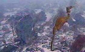 Εντοπίστηκε ζωντανός θαλάσσιος δράκοντας (vid)