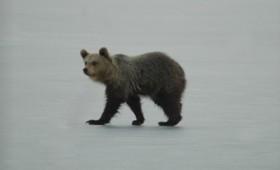 Αρκουδάκι στην παγωμένη λίμνη της Καστοριάς (vid)