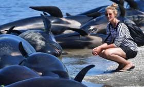 650 φάλαινες προσάραξαν στη Νέα Ζηλανδία