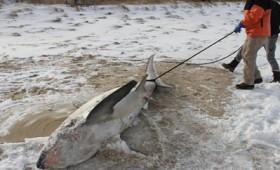 Ακόμη και οι καρχαρίες πάγωσαν στις ΒΑ ΗΠΑ (vid)