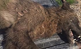 Βίντεο: Μυστηριώδης «λυκάνθρωπος» σκοτώθηκε στη Μοντάνα
