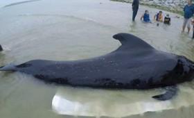 Φάλαινα πέθανε αφού κατάπιε 80 πλαστικές σακούλες (vid)