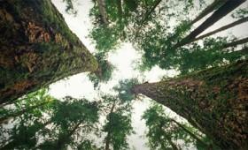 Πώς τα δέντρα μιλούν μυστικά το ένα στο άλλο (vid)