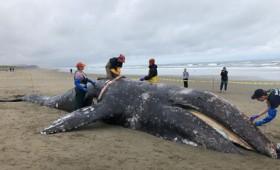 Κλιματική αλλαγή: Οι γκρίζες φάλαινες εκπέμπουν SOS