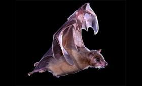 Οι εγκέφαλοι των νυχτερίδων συγχρονίζονται όταν επικοινωνούν μεταξύ τους