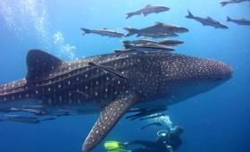 Το ζευγάρωμα των φαλαινοκαρχαριών (vid)