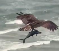 Βίντεο με έναν τεράστιο αετό να αρπάζει και να σηκώνει ψηλά έναν καρχαρία