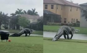 Η χρονιά δεν τελείωσε ακόμη: Γιγαντιαίος αλιγάτορας στη Φλόριντα (vid)