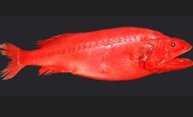 Ένα πολυμορφικό ψάρι που αλλάζει φύλο και γίνεται είτε αρσενικό είτε θηλυκό (vid)