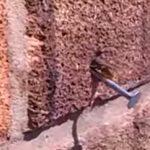 Μέλισσα βγάζει μόνη της καρφί από τοίχο (βίντεο)