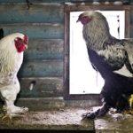 Τρομακτικό! Δείτε το βίντεο με το κοτόπουλο-γίγαντα