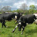 13 αγελάδες αυτοκτόνησαν πηδώντας σε γκρεμό