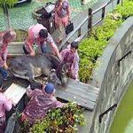 Βίντεο: Ζωντανό γαϊδουράκι ρίχνεται ως τροφή σε τίγρεις