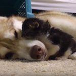 Σκύλος υιοθετεί γατάκι και του σώζει τη ζωή (vid)