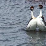 Ο χορός ζευγαρώματος δύο πυγοποδίδων (vid)