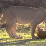 Πεινασμένο λιοντάρι προσπαθεί να φάει χελώνα (vid)