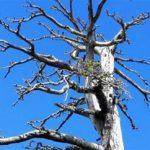 Στην Ιταλία το γηραιότερο δέντρο της Ευρώπης (vid)