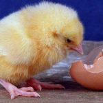 Η κότα έκανε το αυγό ή το αυγό την κότα; Η τελική απάντηση