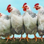 Θα τρώγατε ποτέ κρέας από ζωντανό κοτόπουλο;