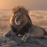 Η επική μάχη ενός λιονταριού με 20 ύαινες (vid)