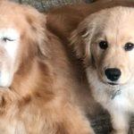 Τυφλή αγάπη: Κουτάβι γίνεται το φως τυφλού Γκόλντεν Ριτρίβερ (vid)