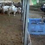 Σκοτώνουν μικρά αρνάκια για τα προϊόντα της Μιράντα Κερ (vid)