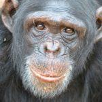 Εμβόλιο της Οξφόρδης: Θα γίνουμε όλοι χιμπατζήδες;