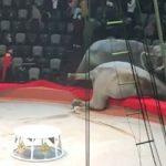 Σκηνές τρόμου από την πάλη δύο ελεφάντων σε ρωσικό τσίρκο (vid)